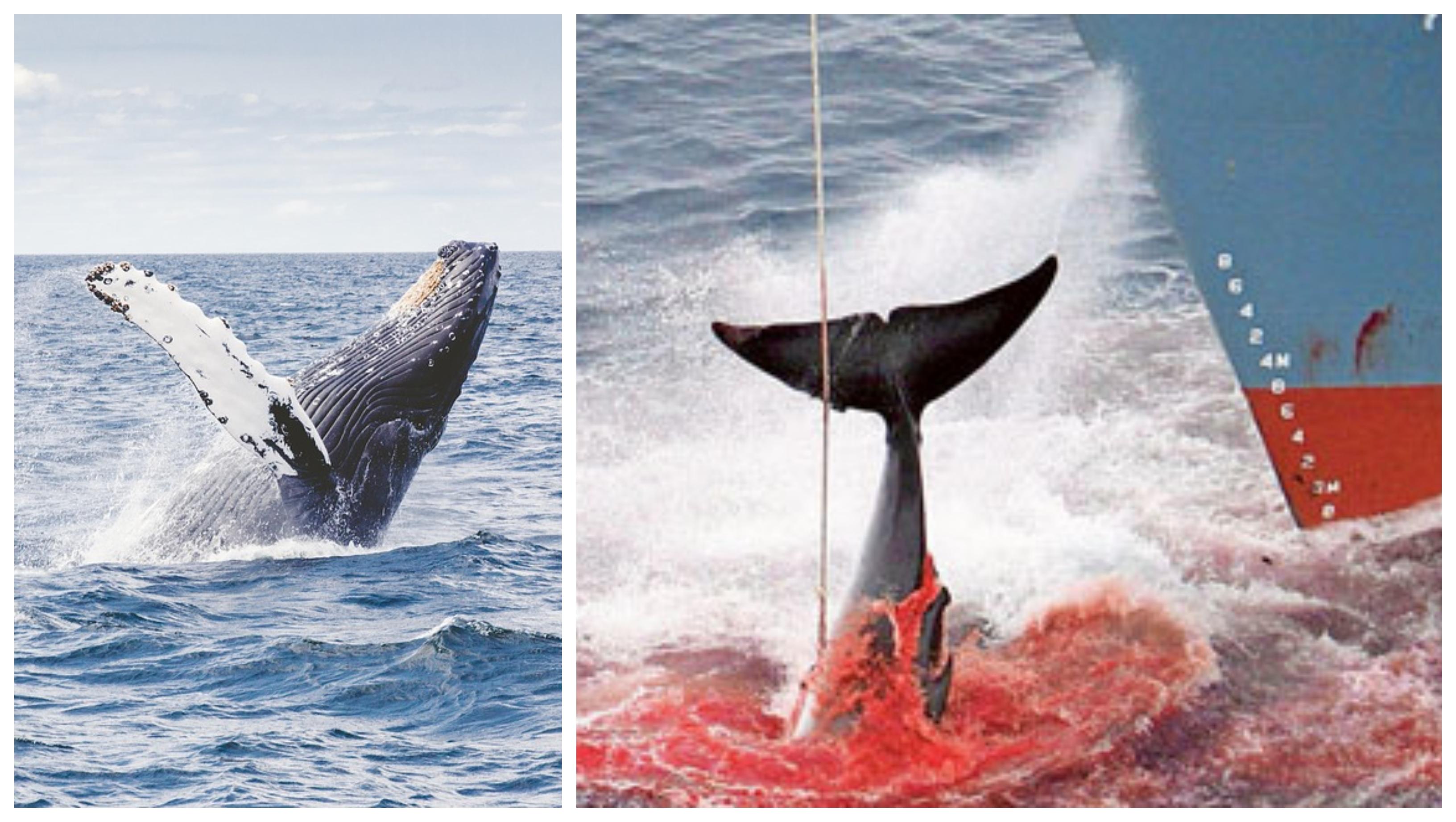 lov veľrýb